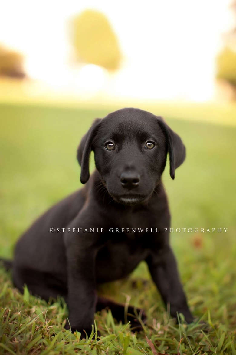 drake the dog stephanie greenwell southeast missouri photography black lab puppy